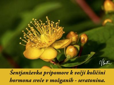 tesnoba naravna zdravila šentjanževka
