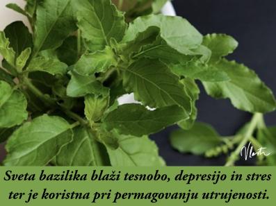 tesnoba naravna zdravila sveta bazilika